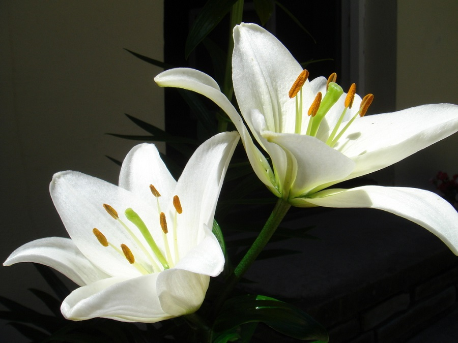 Two Lily Flowers